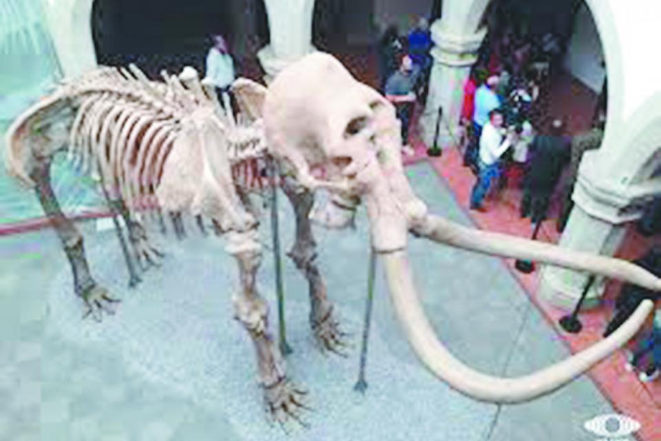 Llegará a BCS  exposición de  esqueleto de mamut