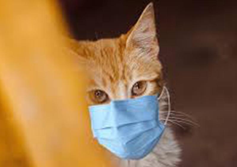 Bélgica registra transmisión de COVID-19 de persona a gato