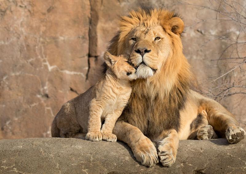 El león colombiano que da abrazos corre riesgo de vida