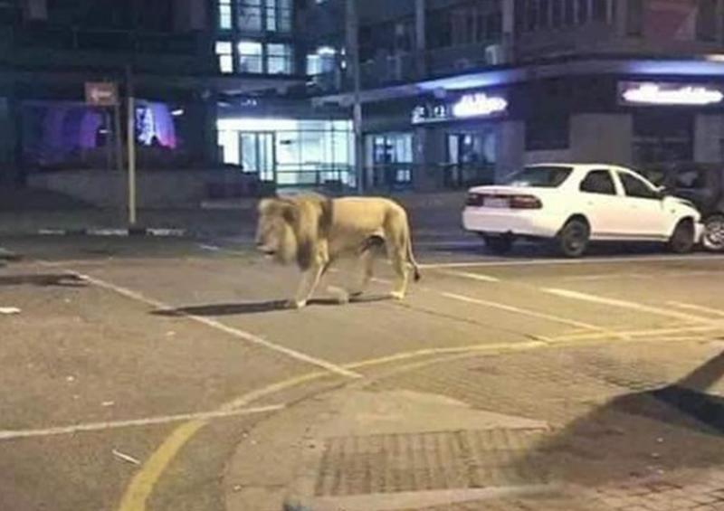 FakeNews: Rusia soltó cientos de leones en sus calles para controlar la Cuarentena