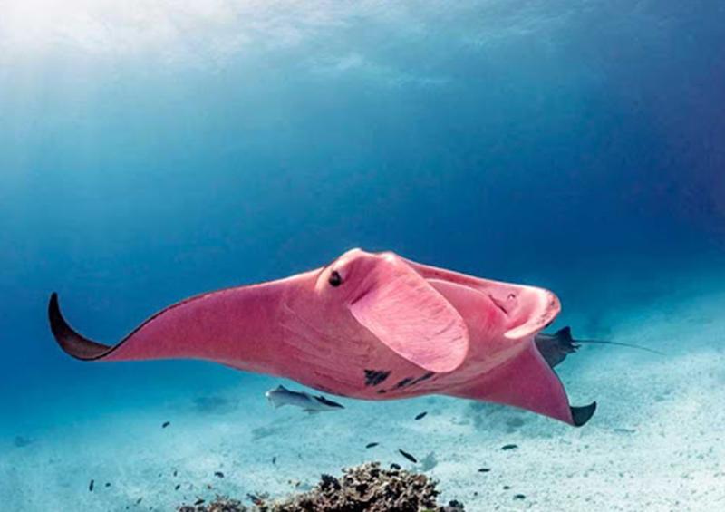 Así luce la única mantarraya rosa conocida en el mundo