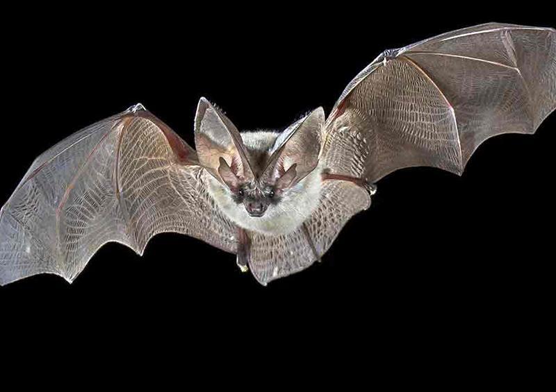 ¿Por qué los murciélagos no son los villanos de la pandemia de COVID-19?