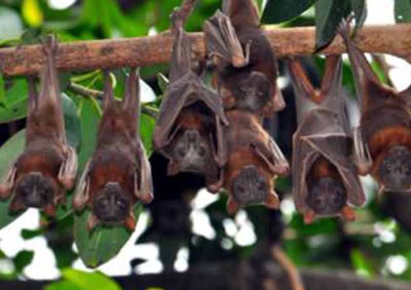 Prenden fuego a murciélagos por temor a contagio de COVID-19