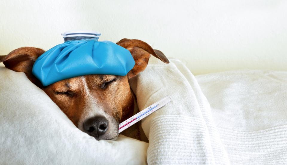 Mascotas no transmiten enfermedades virales a personas