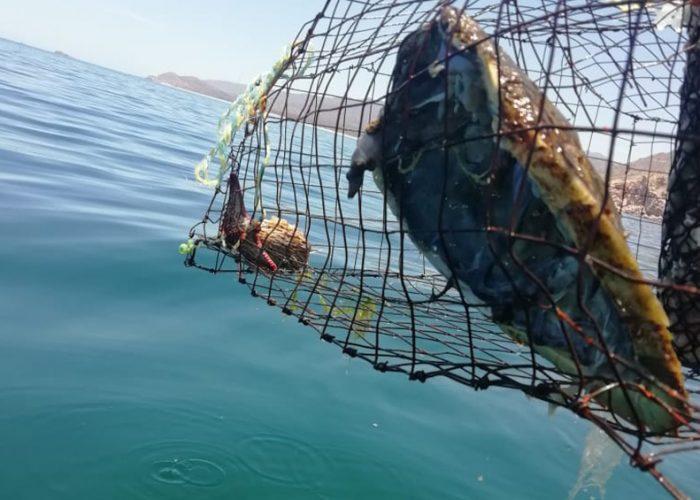 Encuentran restos de tortuga Carey dentro de trampa para pescar