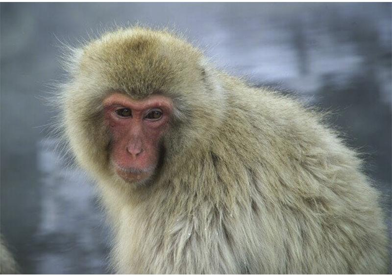 Científicos de EEUU y el Reino Unido prueban con éxito en macacos vacuna contra coronavirus