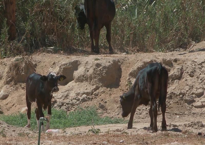 Continuas denuncias por ganado que invade predios en El Rosarito