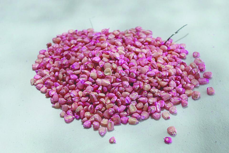 Entrega Sepada semilla de maíz y frijol a productores