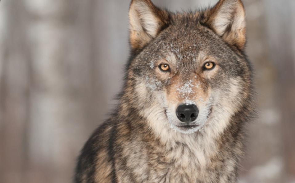 Protección de lobos en EU