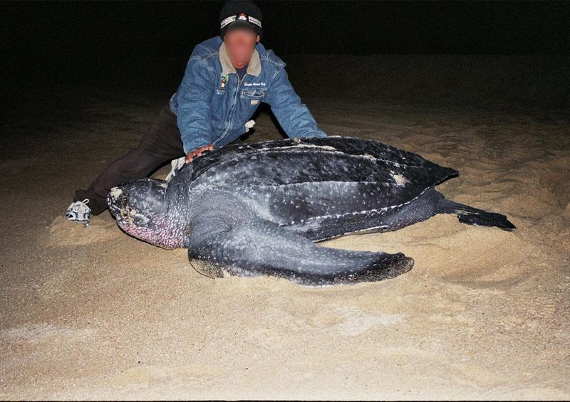 Nido de tortuga laúd en Cabo del Este