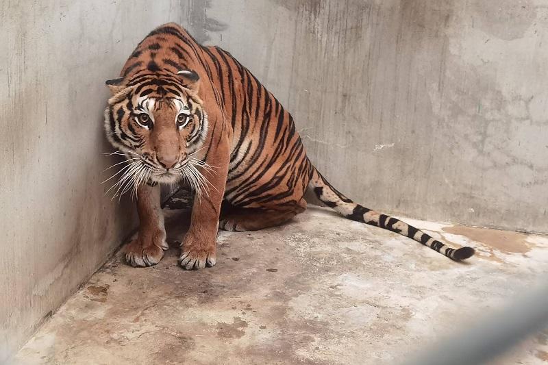 Tigre en zoo de Tailandia