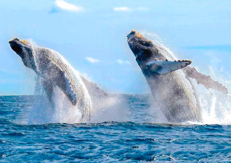 Raben rescata 14 ballenas a nivel nacional