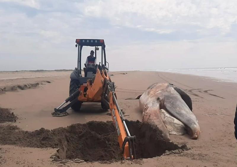 Aparece ballena muerta en playa de Navolato