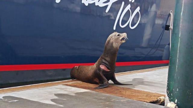 Lobo marino herido en CSL