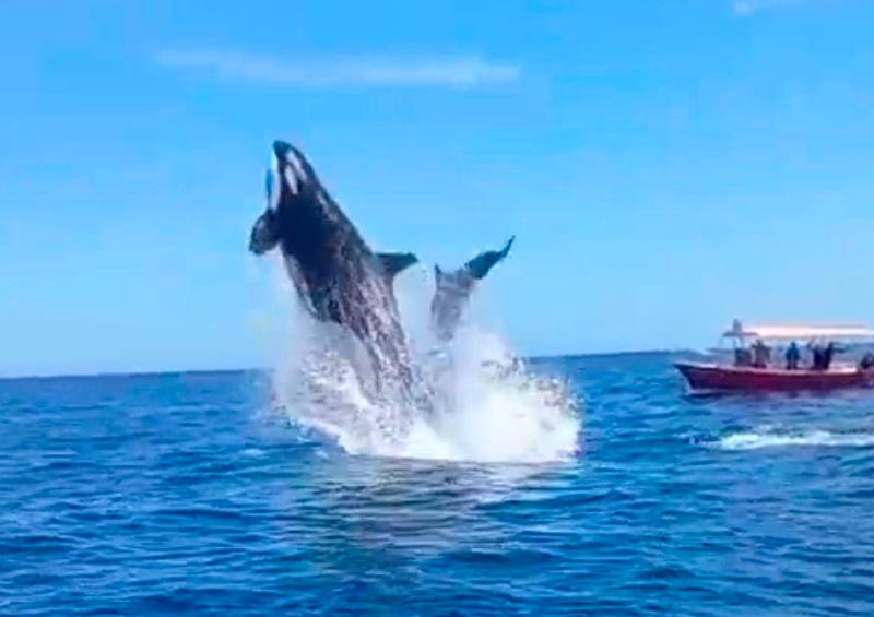 Salto de orca sorprende a turistas en Cabo Pulmo